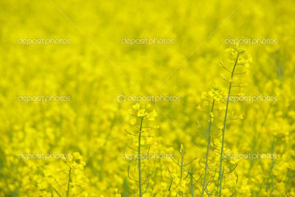 Raps -  Rapeseed 26  Stock Photo #13184008