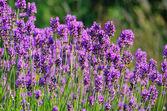 Lavendel - lavender 53 — Stock Photo