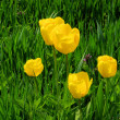 Stock Photo: Tulpe gelb - tulip yellow 02