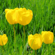 Stock Photo: Tulpe gelb - tulip yellow 06
