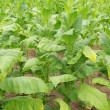 Stock Photo: Virginischer Tabak - cultivated Tobacco 15