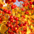 Wildkirsche im Herbst - wild cherry in fall 02 — Stock Photo