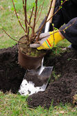 Strauch einpflanzen - planting a shrub 11 — Stock Photo