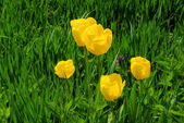 Tulpe gelb - tulip yellow 02 — Stock Photo