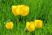 Tulpe gelb - tulip yellow 06 — Stock Photo