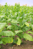 Virginischer Tabak - cultivated Tobacco 15 — Stock Photo