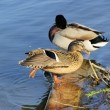 Ente - duck 14 — Stock Photo