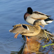 Ente - duck 14 — Stock Photo #13326828