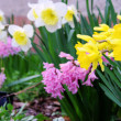 Osterglocke und Hyazinthe - daffodil and hyacinth 01 — Stock Photo