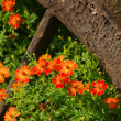 Tagetes 15 — Stock Photo