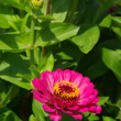 Zinnia 03 — Stock Photo