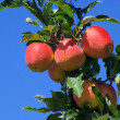 Apfel am Baum - apple on tree 40 — Stock Photo