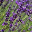 Lavendel - lavender 71 - Stock Photo