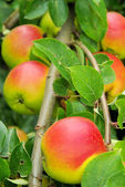 Apfel am Baum - apple on tree 114 — Stock Photo