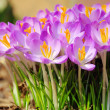 Krokus - Crocus 55 - Stock Photo