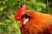 Hahn - cock 02 — Stock Photo