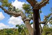 Korkeiche - cork oak 49 — Stock Photo