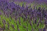 Lavendel - lawenda 69 — Zdjęcie stockowe