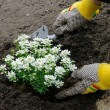 Stock Photo: Staude einpflanzen - shrub planting 13