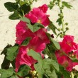 Stockrose - hollyhock 09 — Stock Photo