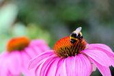 Sonnenhut purpur - purple coneflower 40 — Foto Stock