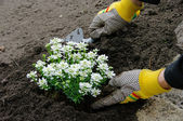 Staude einpflanzen - shrub planting 13 — Stock Photo