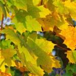 Ahornblatt - maple leaf 11 — Stock Photo
