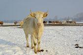 Rind - cow 39 — Stock Photo