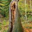 Gesplitterter Baumstamm - splinted trunk 04 — Stock Photo