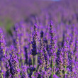 Lavendel - lavender 72 — Stock Photo