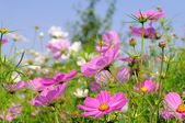 Cosmea 11 — Stock Photo