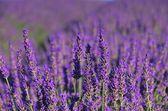 Lavendel - lavanda 72 — Foto Stock