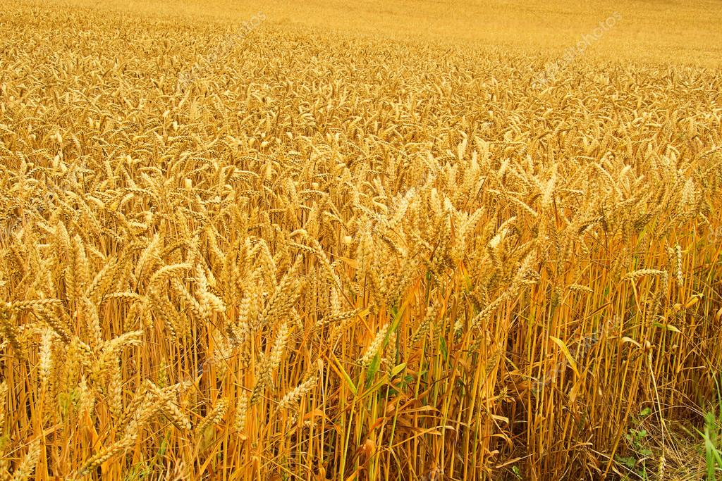 Wheat field 01 — Stock Photo #14438313
