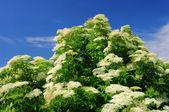 Holunder blete - ouderling bloem 18 — Stockfoto