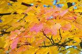 Ahornblatt - maple leaf 14 — Stock Photo