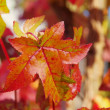 Sweetgum 03 — Stock Photo