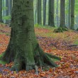 Stock Photo: Beech forest in fog 09