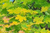 Maple leaf 15 — Stock Photo