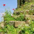 Stock Photo: Corn poppy before wall 07