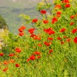 Stock Photo: Corn poppy near lake gard01