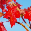 Amberbaum - sweetgum 04 — Stock Photo