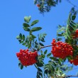 Eberesche - Rowan 04 — Stock Photo