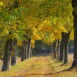 Stock Photo: Lindenallee - lime tree avenue 07