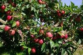 Apfel am Baum - apple on tree 145 — Stock Photo