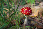 Fliegenpilz - fly agaric 06 — Stock Photo