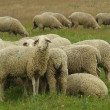 Stock Photo: Schaf - sheep 08