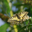 Schmetterling Schwalbenschwanz - Old World Swallowtail 01 — Stock Photo