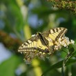 Schmetterling Schwalbenschwanz - Old World Swallowtail 01 — Stock Photo #15336465