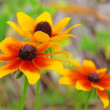 Sonnenhut - black-eyed Susan 16 - Stock Photo
