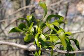 Mistel - mistletoe 15 — Stock Photo
